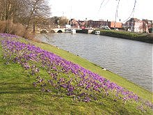 Crocuses along the canal