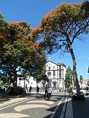 Flame trees in Funchal