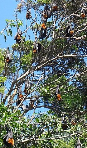 Flying foxes in Sydney botanics