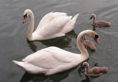 Swans and goslings at Revin