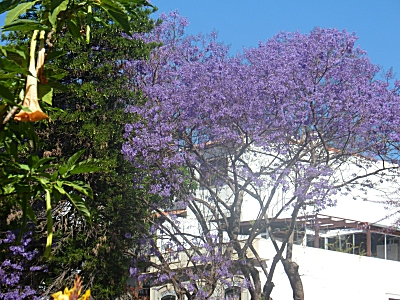 Jacarandas in bloom in Funchal