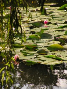 Water lilies at Monet's garden at Giverny