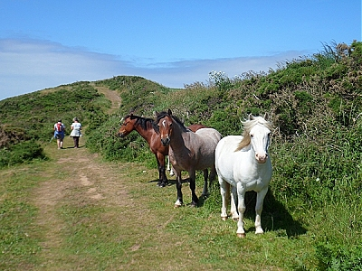 Ponies on the Pembrokeshire coastal path