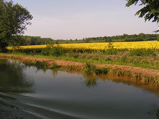 Sunflower field from the canal